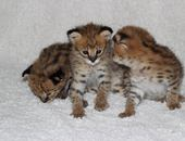 serval , savannah and caracal kittens