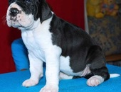 Gorgeous Great Dane puppies.