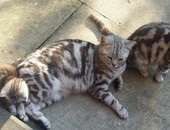 Amazing Bsh Kittens For Sale,tica Registered!!!