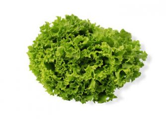 Egyptian Hydrofarms Green Batavia Lettuce