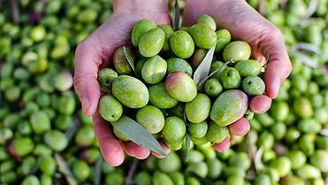 Aceite oliva virgen extra: tres almazaras de excelencia en Jaén