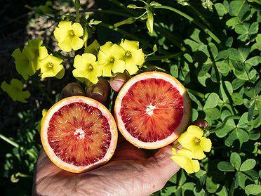 Vicent Todolí nos enseña su Hort Botànic Citrícola el Bartolí