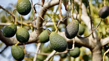 Aguacates canarios: Agro Rincón (Tenerife)