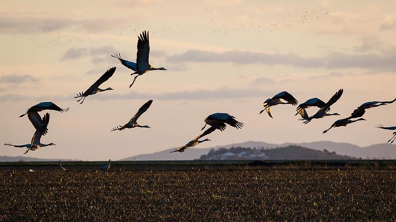 Turismo ornitológico: X Festival de las Grullas (Navalvillar de Pela, Badajoz)