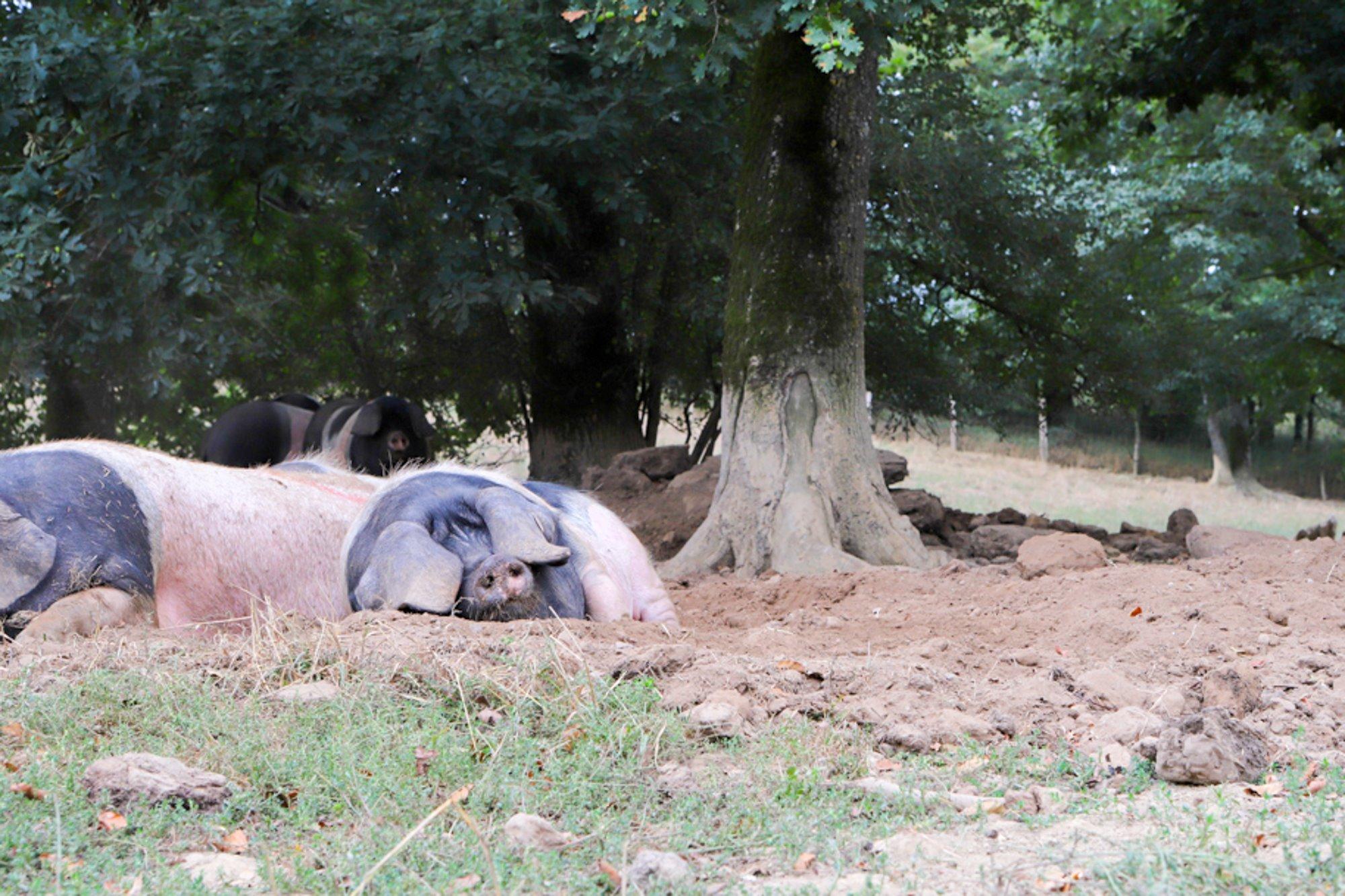 Los cerdos campan (y duermen) con total libertad en la explotación.