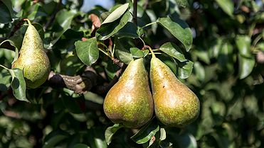 La pera de Lleida (limonera, blanquilla y conference con Denominación de Origen)