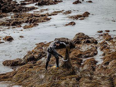Percebeiros de algas en Galicia