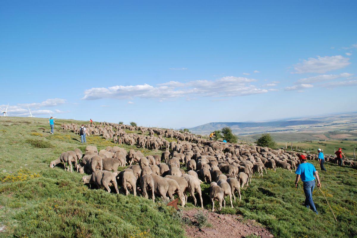 Pastores y turistas practican la trashumancia por las Tierras Altas de Soria. Foto: Soria Vacaciones.