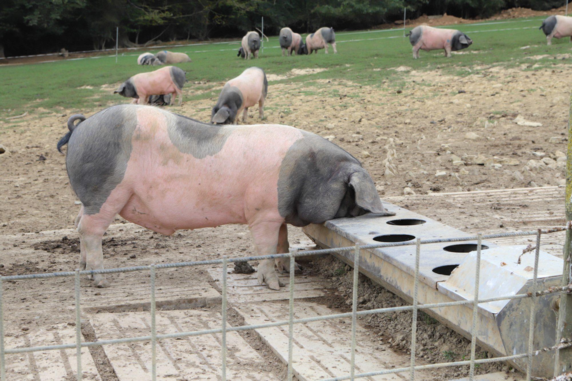 Aunque también comen raíces y alguna bellota, la alimentación de los cerdos es basa en pienso de cereales.