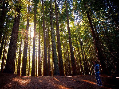 Bosques de tejos sagrados y secuoyas gigantes en Cantabria