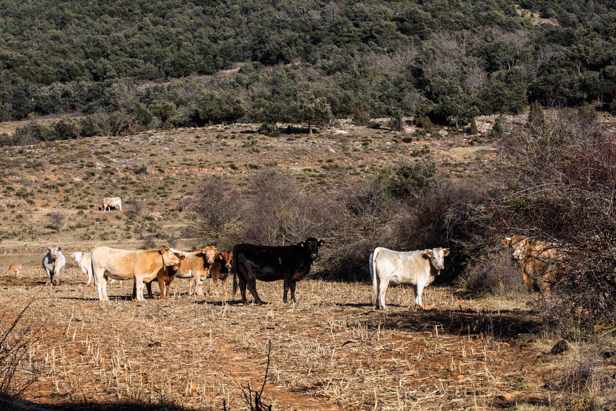 Vacas en la zona de subida a la montaña Penyagolosa.