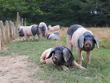 Cerdos 'Maskarada' (Lekunberri, Navarra): cerdos gourmet