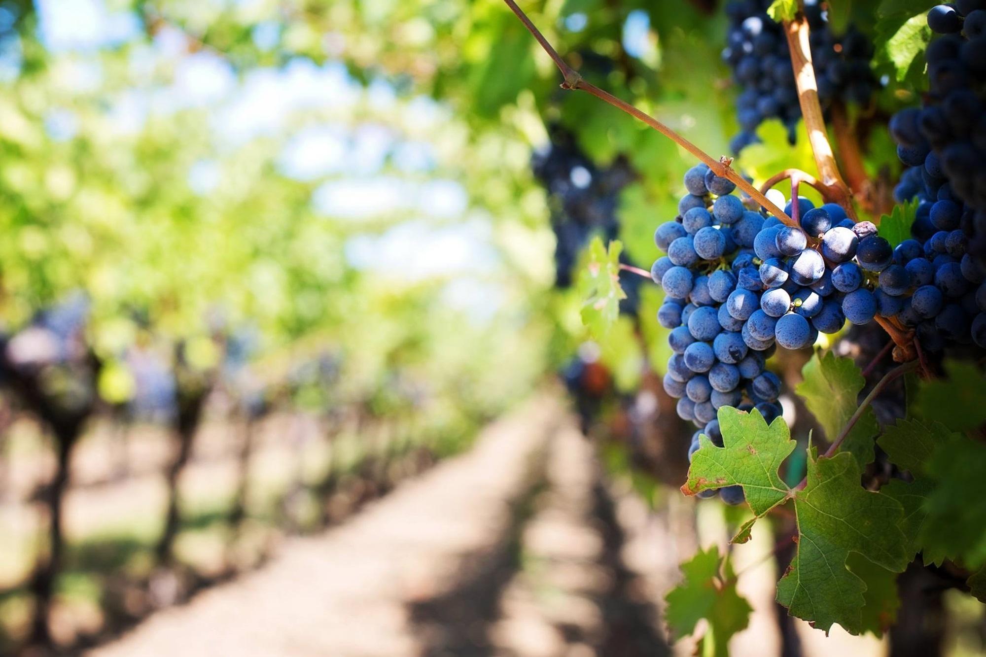 La vida de los riojanos ha girado tradicionalmente alrededor del cultivo de la uva y la elaboración del vino. Foto: Facebook 'Bodegas Franco-Españolas'