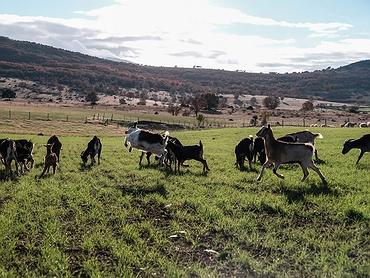 Ganadería y quesería 'Amado Charra' (Aldeanueva de la Sierra, Salamanca): cabrito lechal