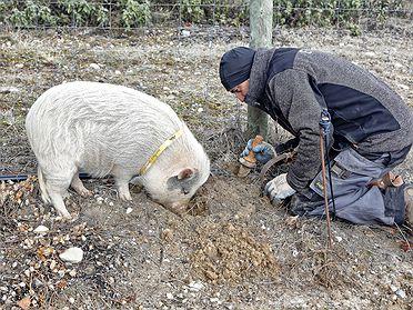 Trufa negra: recogida con cerdos en Soria