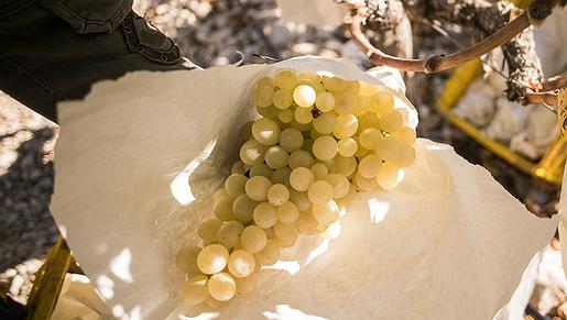 Las uvas del Valle del Vinalopó (Alicante)