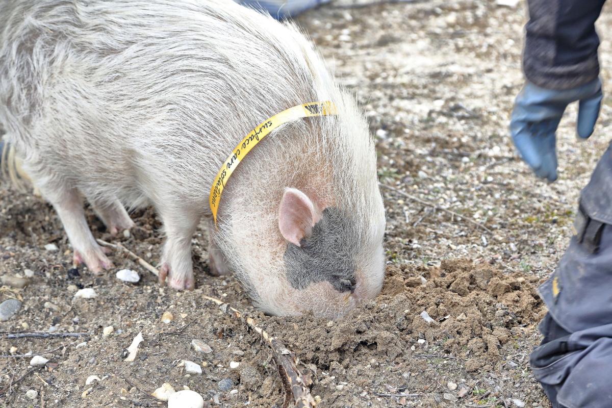 Hasta el año pasado, en Castilla y León estaba prohibido el uso de cerdos para recoger trufas.