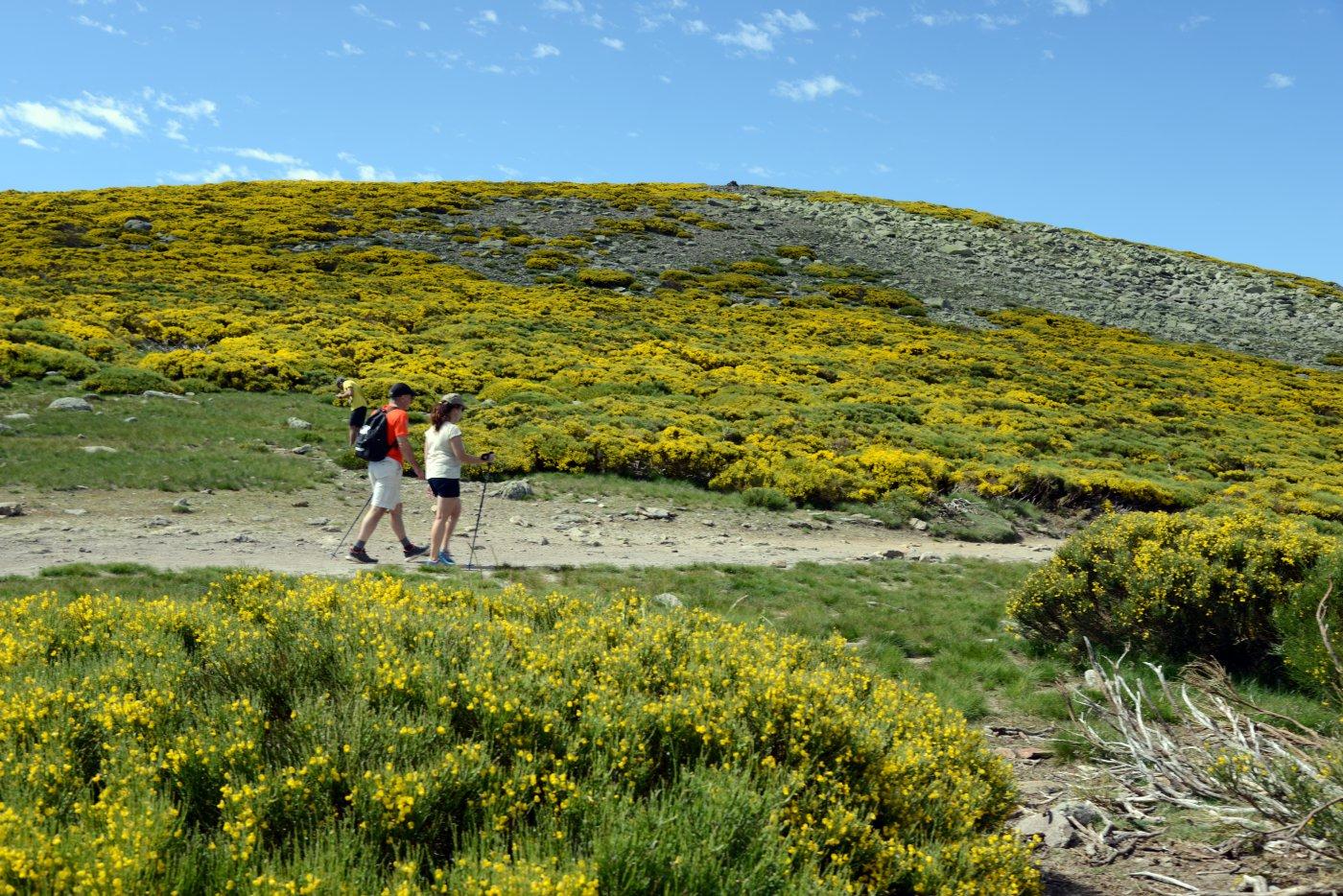 Piornos en flor en Gredos (7)