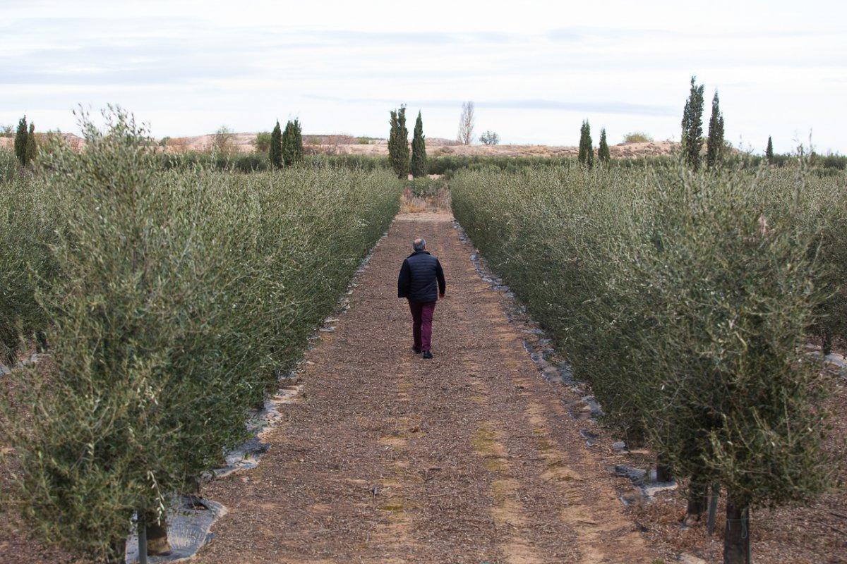 La finca de Fontellas cuenta con 170 hectáreas de olivar.