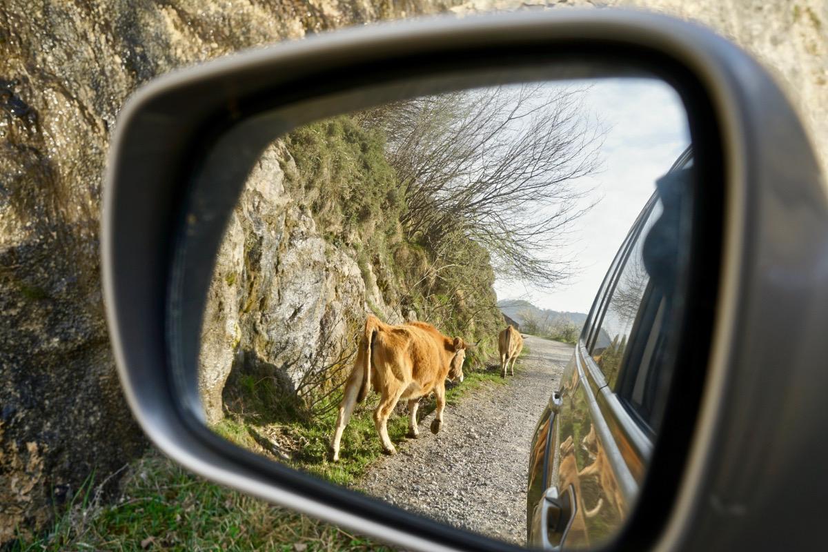 Las vacas, tráfico habitual en Sotres.