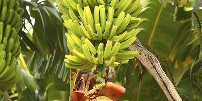 Plátano de Canarias.