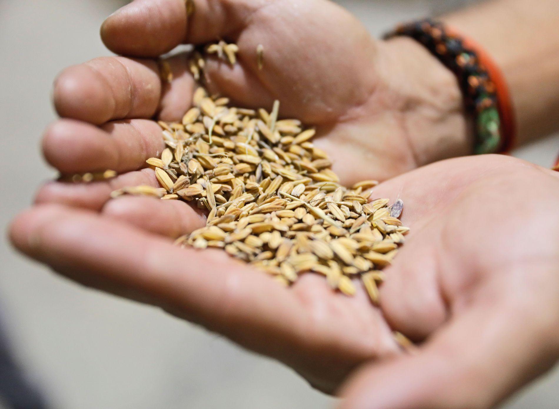Arroces 'Molino Roca': granos de carnaroli
