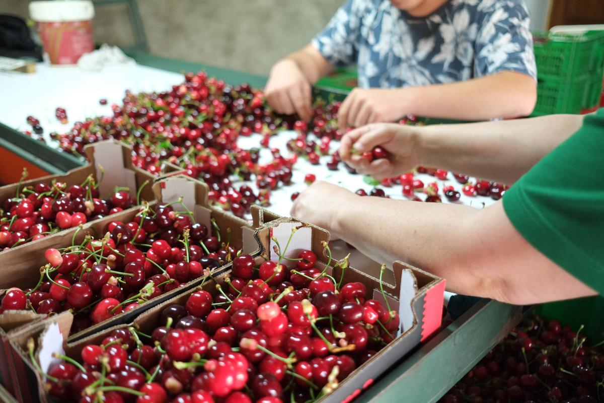 Las manos de María Luisa clasifican las cerezas con rapidez y eficacia.