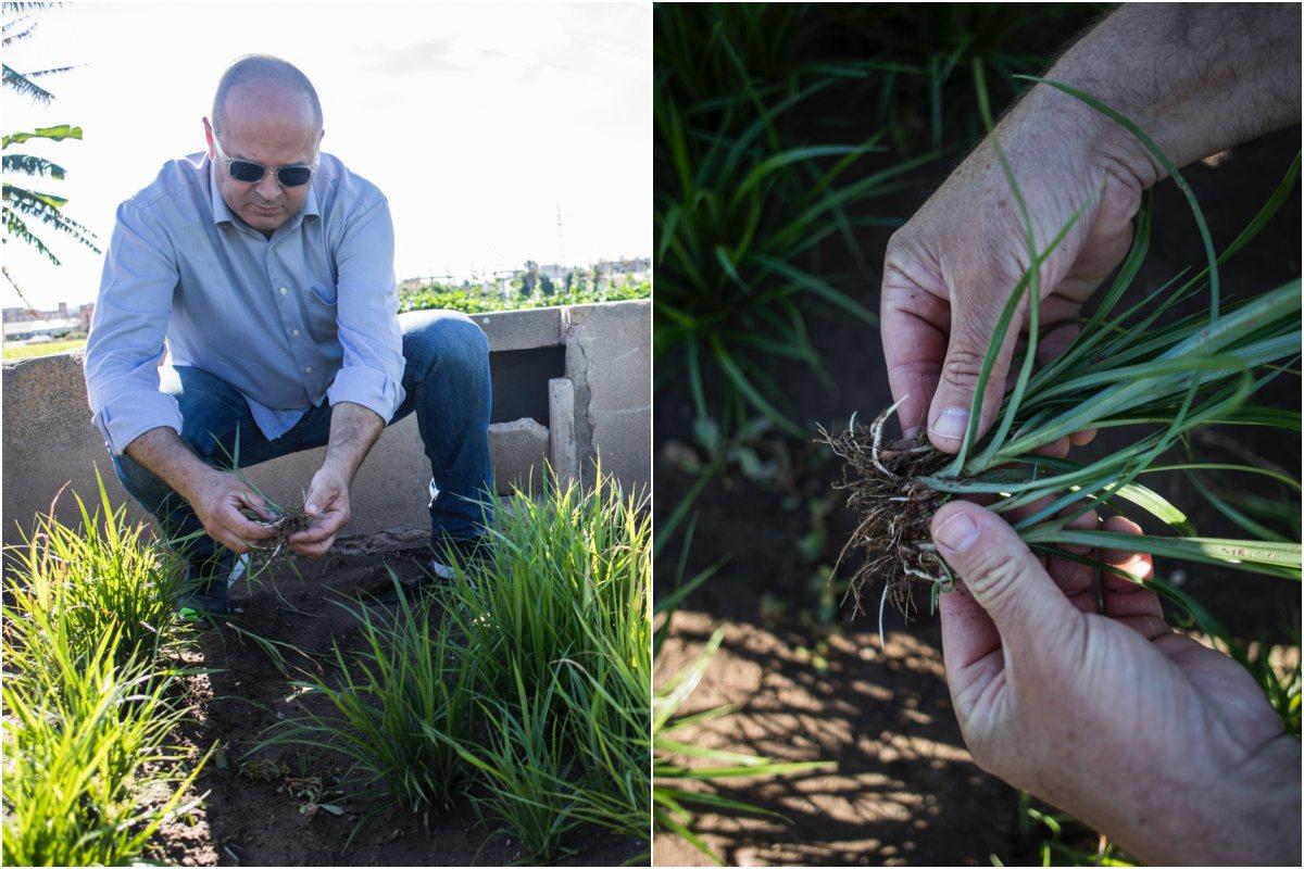 José Belloch, de 'Sequer lo Blanc', en Alboraya (Valencia) muestra las raíces de donde se extraen las chufas.