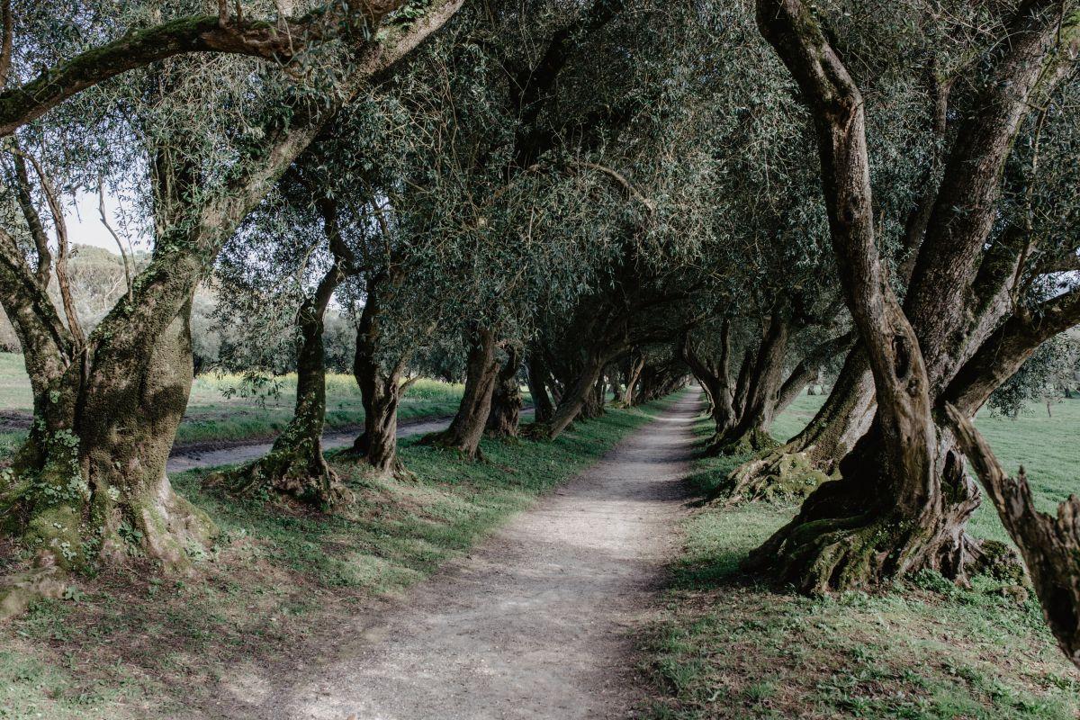 El pasadizo de olivos de Santa Cruz de Rivadulla.