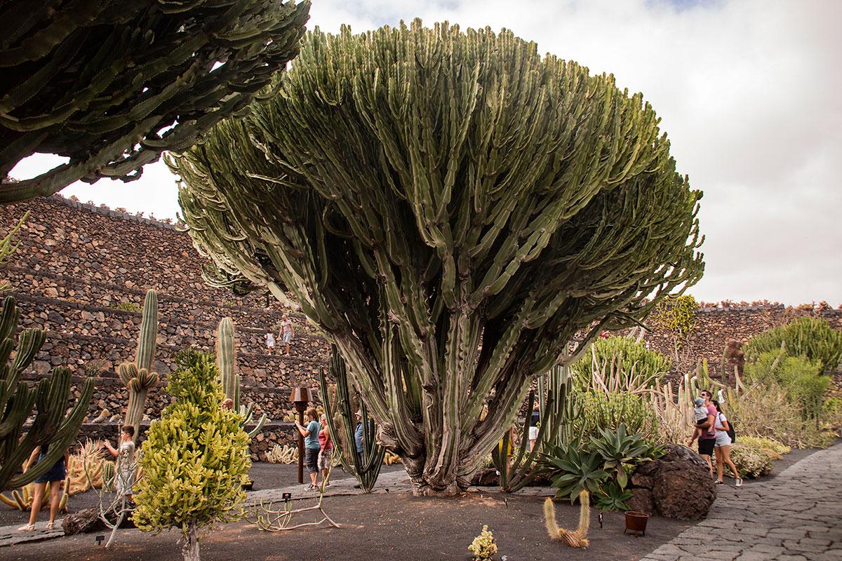 Uno de los cactus que se ha hecho gigante en el jardín.