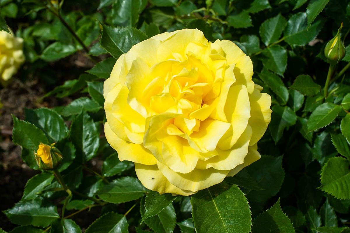 Una rosa amarilla de la variedad Freia Floribunda en La Rosaleda del Parque del Oeste (Madrid).