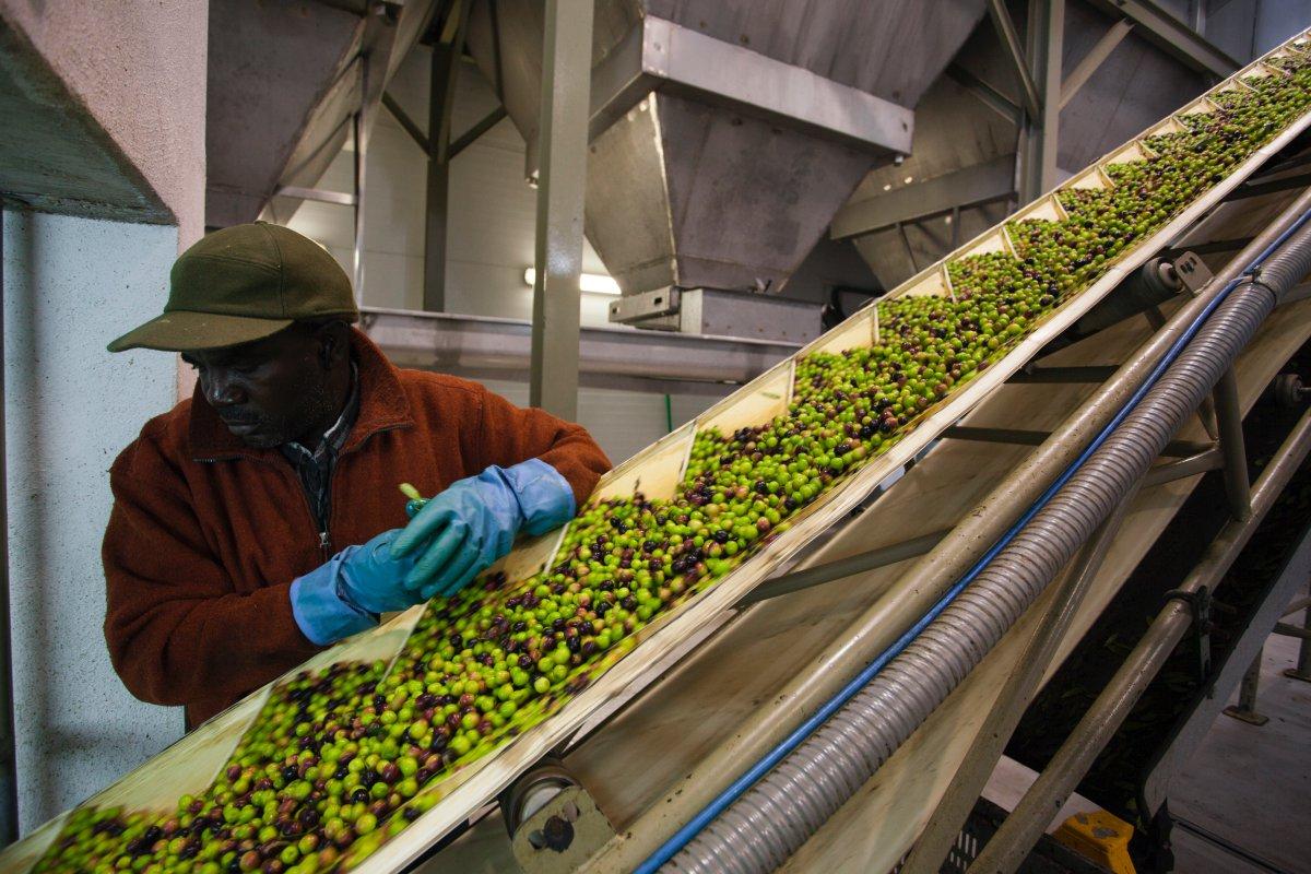 En la almazara se lleva a cabo la selección de los frutos. Foto cedida.
