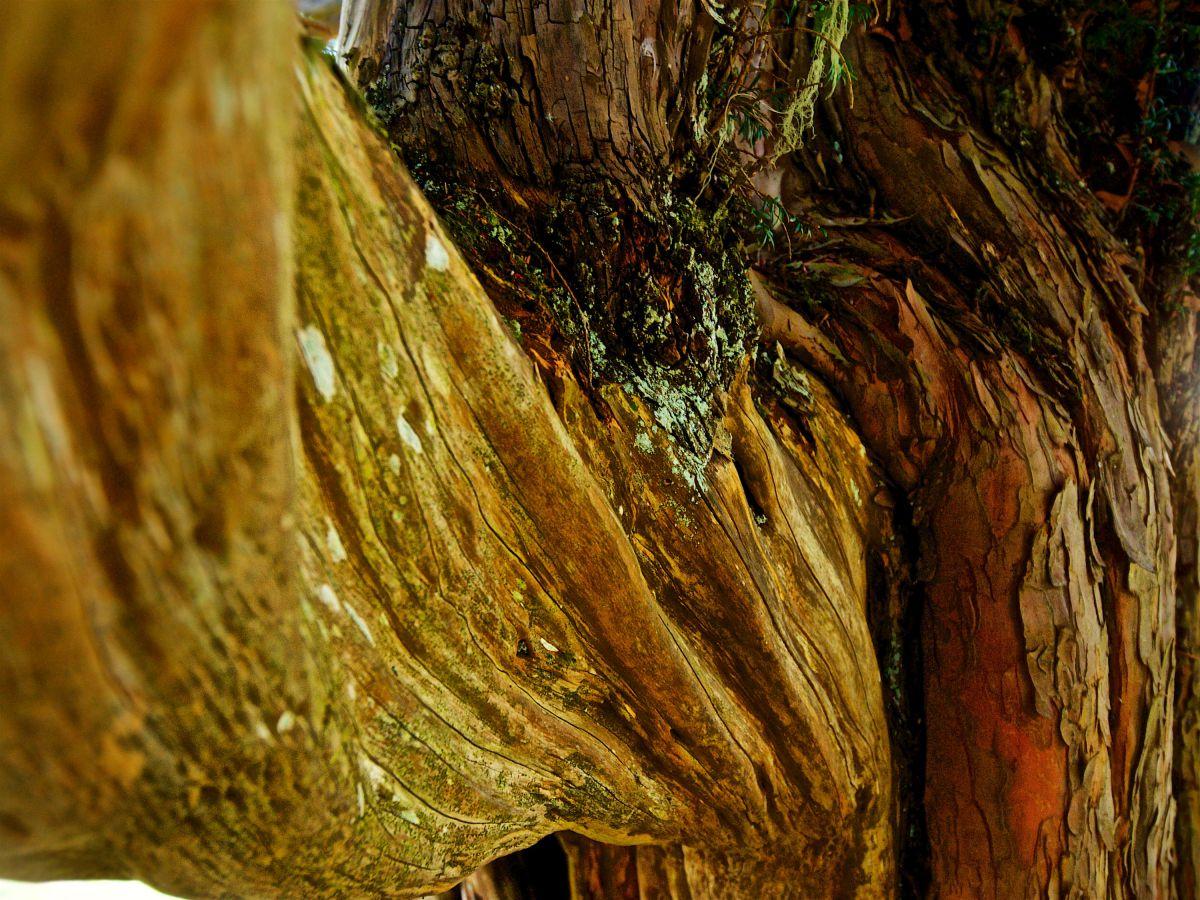 El tronco del tejo visto de cerca, en la Braña de los Tejos, Cantabria.