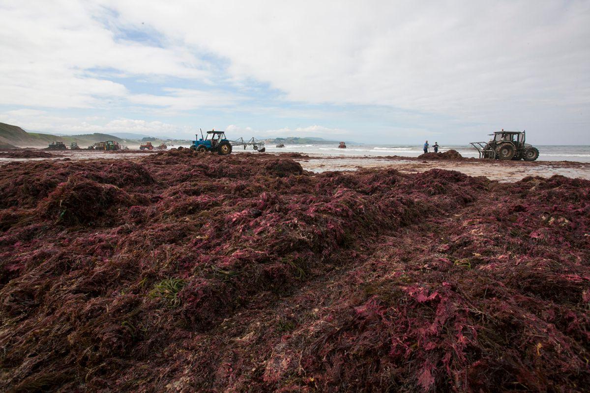 Las algas amontonadas que se van extrayendo del mar