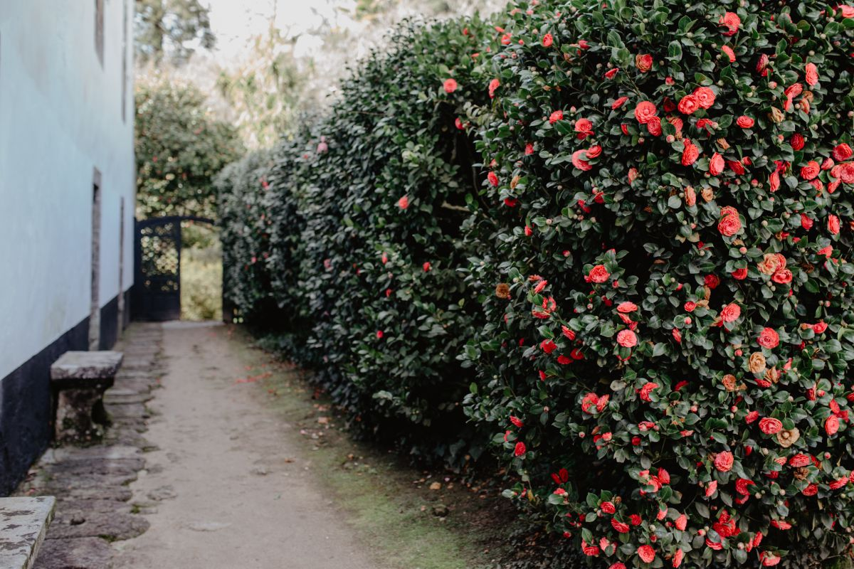 Un muro de camelias da la bienvenida al jardín de Rivadulla.