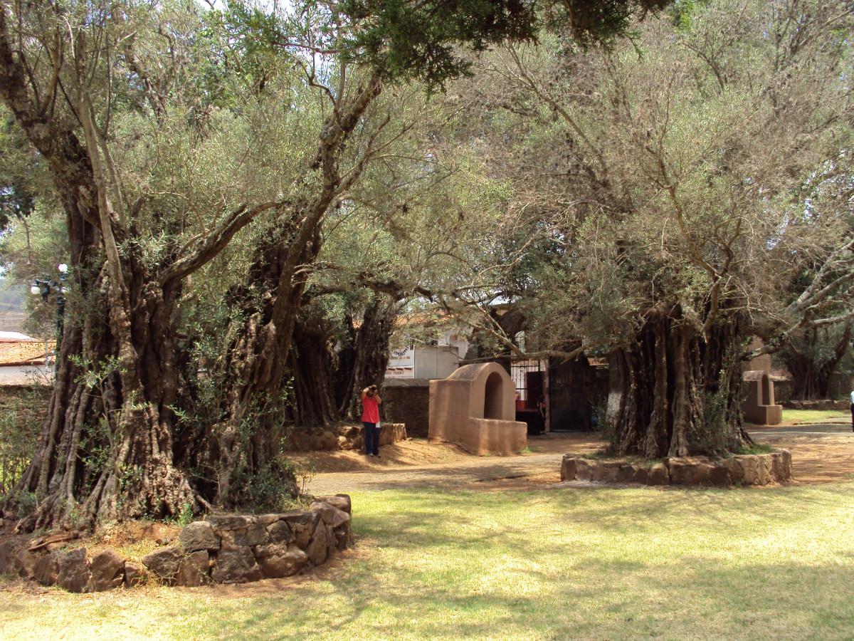 Olivos que desde la llegada de los misioneros se conservan en el jardín del exconvento franciscano de Santa Ana de Tzintzuntzan, en Michoacán, México. Foto: R.T.