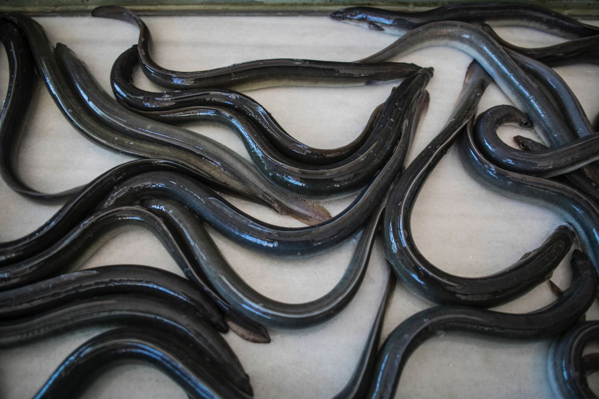 Anguilas recién sacadas de la piscina de la piscifactoría de Anguilas El Galet, en Catarroja, Valencia.