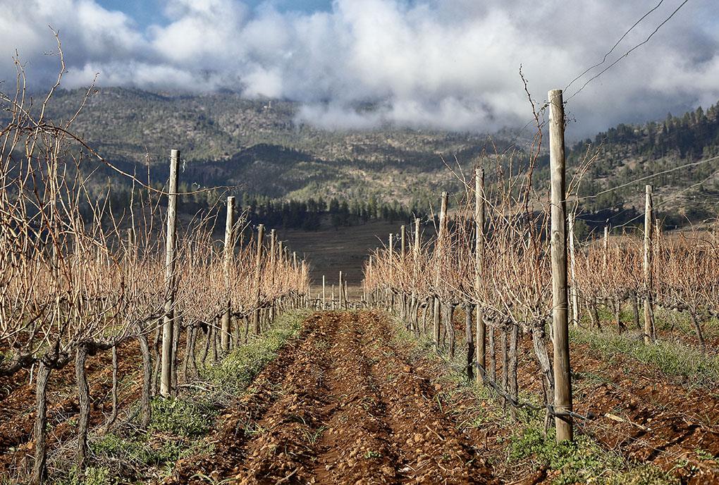 Los viñedos de Altos de Trevejos, a los pies del Teide -cubierto por las nubes-.