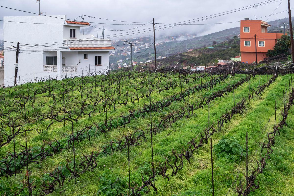 Vista de los viñedos del guachinche Zacatín, en Tenerife.