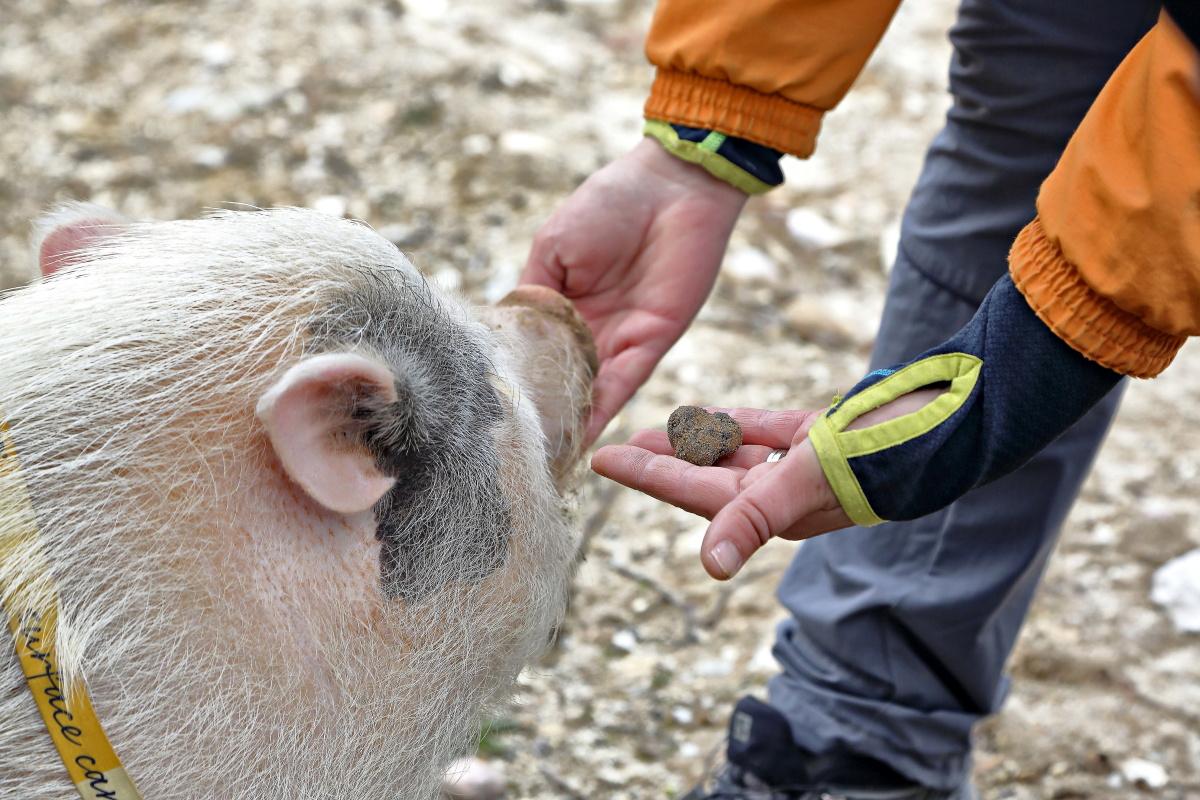 El animal distingue entre el olor de la trufa enterrada y la que está ya en el zurrón del trufero.
