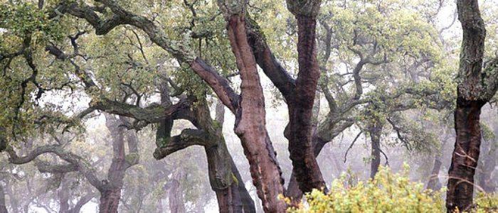 Alcornocales del Parque Natural Sierra de Aracena.