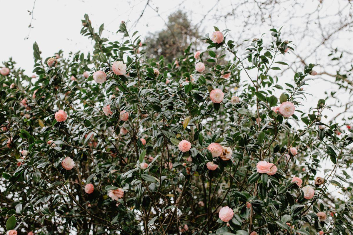 Las camelias florecen en invierno, entre noviembre y abril.