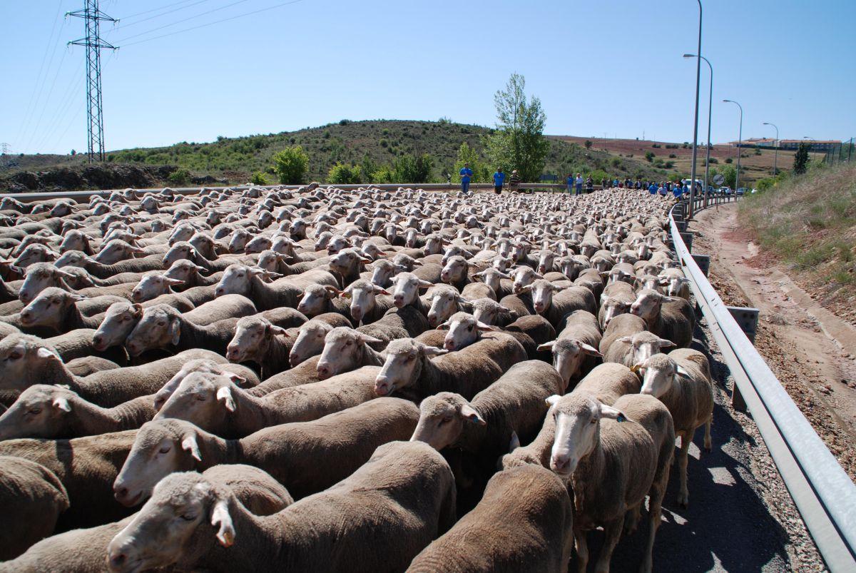 Un rebaño de ovejas regresan desde Trujillo, en Extremadura, hasta la Oncala, en Soria. Foto: Soria Vacaciones.