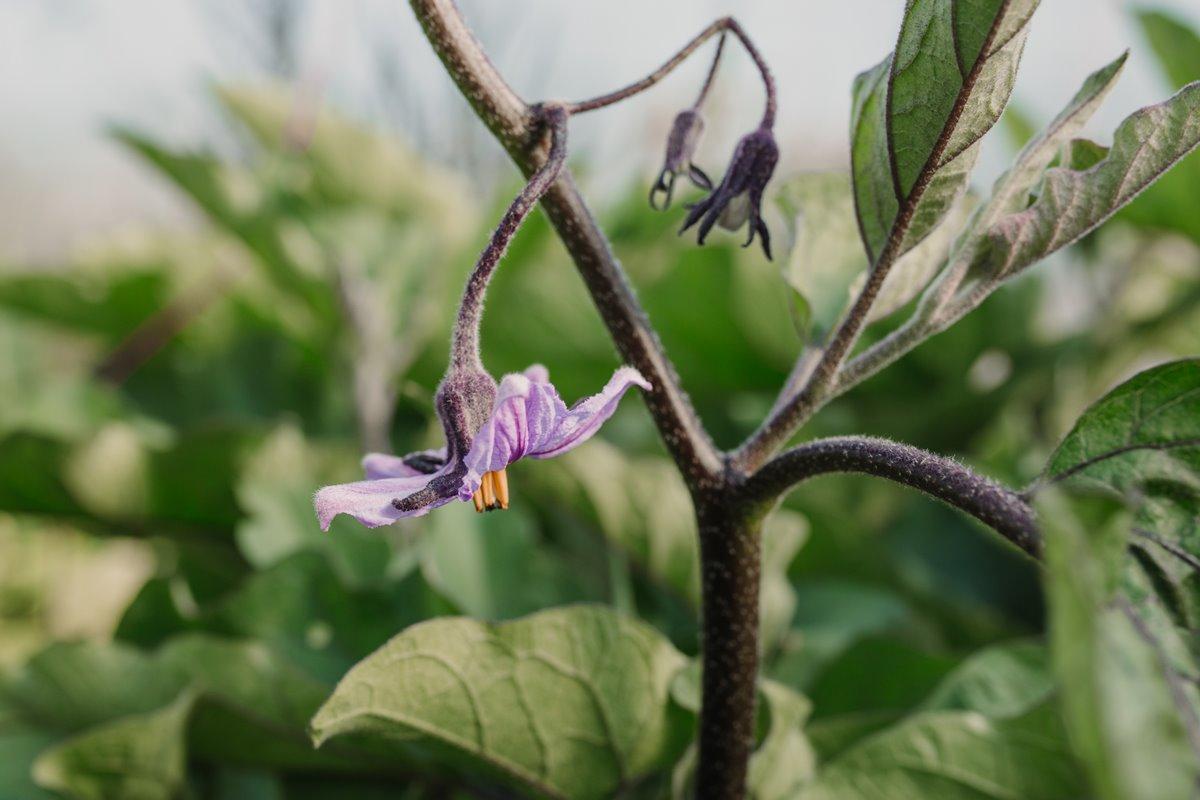 La flor de la berenjena, preparada para dar fruto.