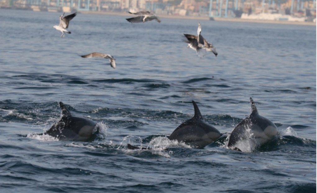 Delfines saltando en las aguas de Tarifa.