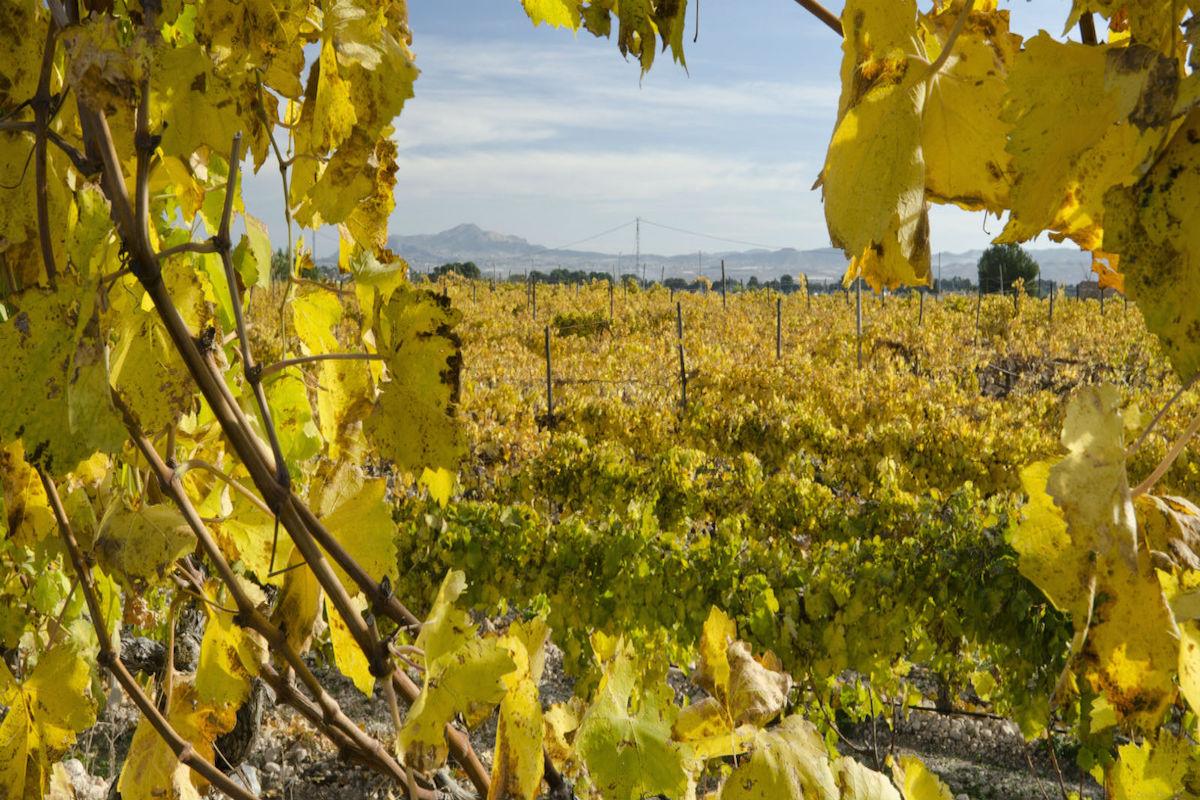 Viñedos de uva moscatel, Alicante.