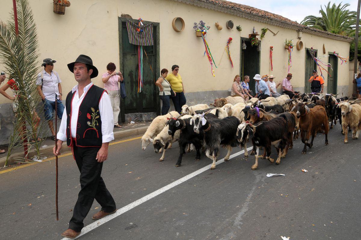 Un pastor pasea al ganado por las calles de Tacoronte, en Tenerife, durante la romería de San Isidro Labrador.