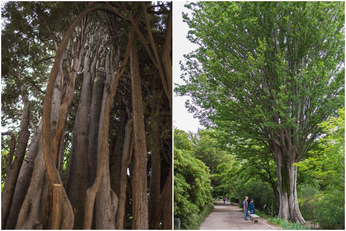 Un ciprés de más de 200 años, el árbol más antiguo del jardín, y un olmo caucaso de casi 200 años, en el Real Jardín Botánico de Madrid.