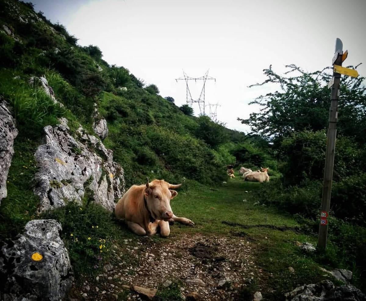 Las marcas amarillas (junto a las vacas) indican el camino. Foto: Facebook del Maratón Zegama Aizkorri.