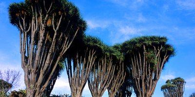 Dragos de Burracas. Foto de: Saúl Santos. Cedida por: Patronato de Turismo de La Palma.